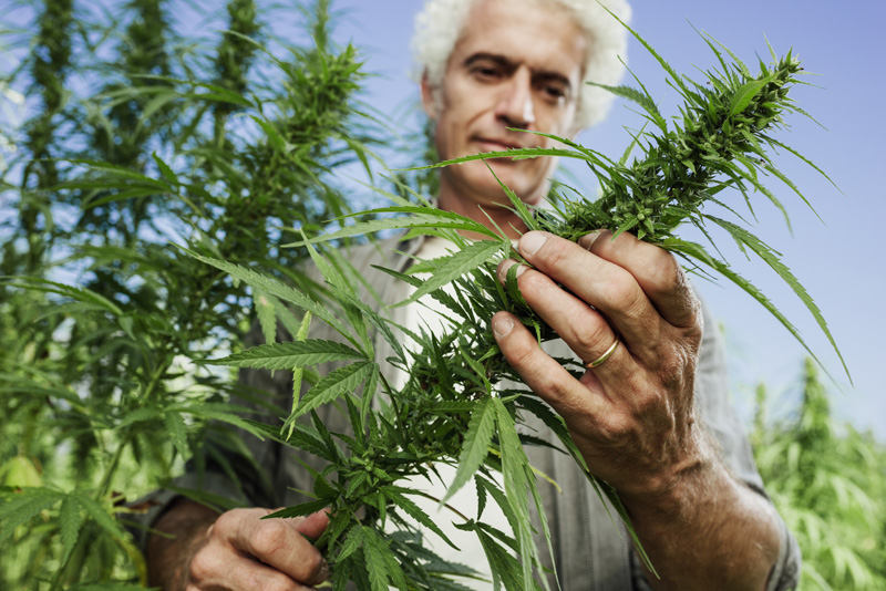 The Cannabis Industry's Dirty Secret: Pesticides